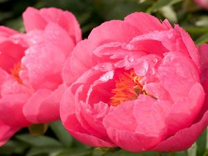 Large Bright Pink Peony Flowers, Paeonia Species, with Rain Drops by Darlyne A^ Murawski