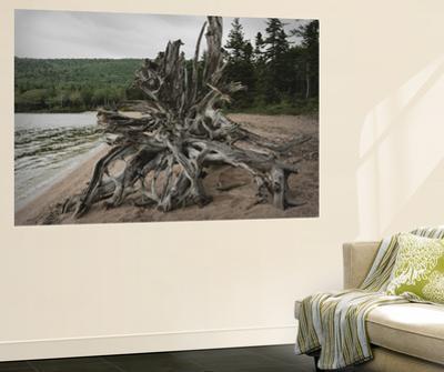 Large Driftwood Tree on the Warren Lake Beach, in Cape Breton Highlands National Park by Darlyne A^ Murawski