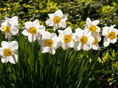 Line of Spring Daffodils, Narcissus Species, in Flower in Springtime