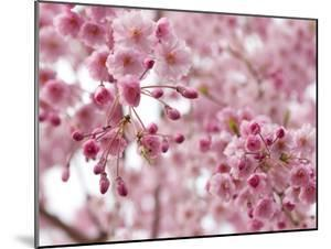 Looking Up at Flowering Branches of a Weeping Higan Cherry Tree by Darlyne A. Murawski