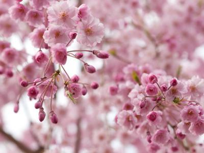 Looking Up at Flowering Branches of a Weeping Higan Cherry Tree by Darlyne A^ Murawski