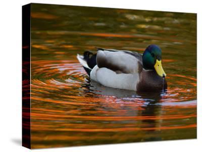 Male Mallard Duck Drinking. Fall Foliage Is Reflected in the Water