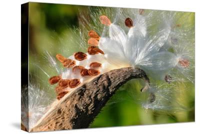 Milkweed Seeds Dispersing from their Capsule in Fall