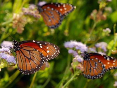 Monarch Butterflies, Danaus Plexippus, at Flowers on Migration Route