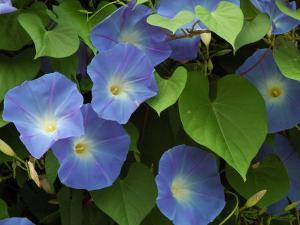 Morning Glories in Bloom in Arlington, Massachusetts, USA by Darlyne A^ Murawski