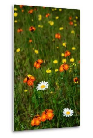 Orange Hawkweed Flowers, Daisies, and Dandelions in a Meadow