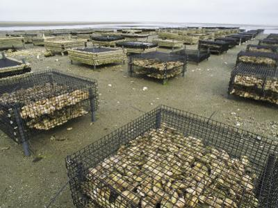 Oyster Beds Exposed at Low Tide by Darlyne A. Murawski