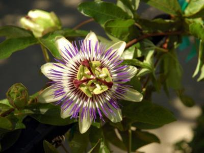 Passion Flower in a Garden in Seattle, Washington