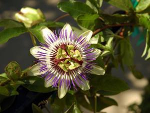 Passion Flower in a Garden in Seattle, Washington by Darlyne A. Murawski