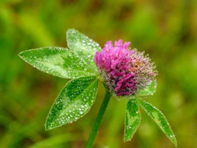 Pink Flowering Clover Covered in Morning Dew by Darlyne A^ Murawski
