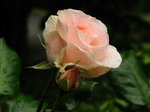 Pink Rose with Water Drops after a Rain by Darlyne A^ Murawski