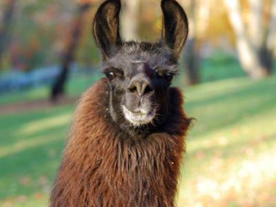 Portrait of a Llama by Darlyne A^ Murawski