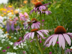 Purple Coneflower and Other Flowers in a Cape Cod Garden by Darlyne A. Murawski