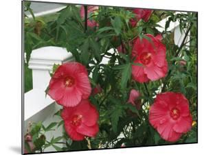Red Hibiscus in Bloom Along a White Wooden Fence by Darlyne A. Murawski
