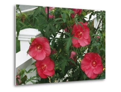 Red Hibiscus in Bloom Along a White Wooden Fence
