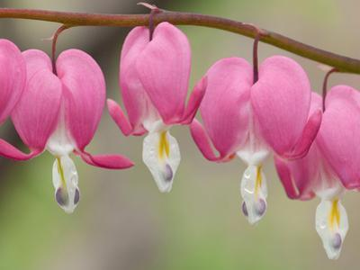 Row of Pink Bleeding Heart Flowers, Dicentra Spectabilis, in Spring