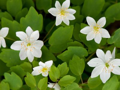 Rue Anemone Plants in Bloom, Thalictrum Thalictroides, in Springtime by Darlyne A^ Murawski