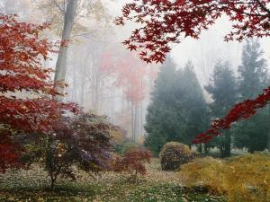 Several Japanese Maple Trees in the Fall by Darlyne A^ Murawski