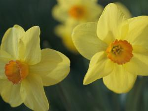 Spring Flowers, Daffodils, Early April, Massachusetts by Darlyne A. Murawski
