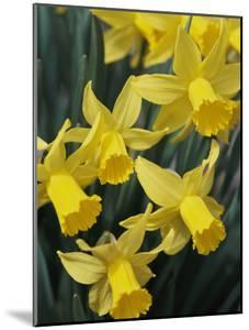 Spring Flowers, Daffodils, Early Spring, Massachusetts by Darlyne A. Murawski