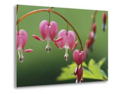 Spring Flowers, Dutchmans Breeches (Bleeding Hearts) Mid-May
