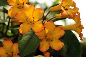 The Flowers and Leaves of a Vireya Rhododendron Shrub by Darlyne A^ Murawski