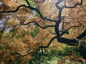 The Gnarled Branches of a Japanese Maple Tree in Spring by Darlyne A^ Murawski