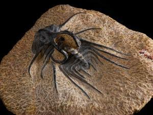 Trilobite Fossil from Morroco, Dicranurus Species, Devonian Era, Arlington, Massachusetts, USA by Darlyne A. Murawski