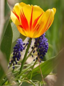 Tulip and Grape Hyacinths in the Spring, Winchester, Massachusetts by Darlyne A. Murawski