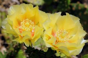 Two Yellow Prickly Pear Cactus Flowers, Opuntia Species by Darlyne A^ Murawski