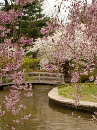 View of a Japanese Garden in a Park with Blooming Cherry Trees