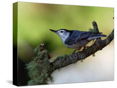 White-Breasted Nuthatch, Sitta Carolinensis, Perching on a Branch