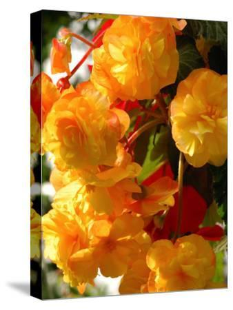 Yellow Begonia Flowers, Victoria, British Columbia, Canada