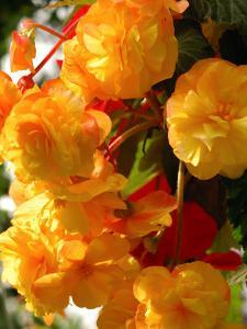 Yellow Begonia Flowers, Victoria, British Columbia, Canada by Darlyne A. Murawski