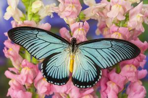 African Giant Blue Swallowtail Butterfly, Papilio Zalmoxis by Darrell Gulin