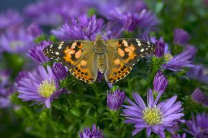 American Painted Lady Butterfly by Darrell Gulin