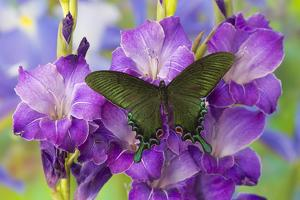 Asian Swallowtail Butterfly, Papilio Syfanius by Darrell Gulin