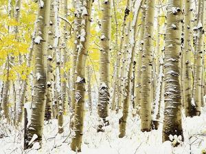 Aspen Grove in Winter by Darrell Gulin