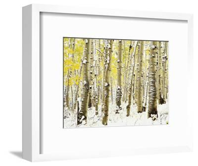 Aspen Grove in Winter