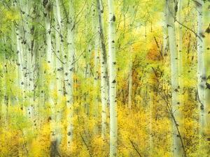 Aspens in Fall, Kebler Pass, Colorado, USA by Darrell Gulin