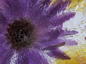 Aster Encased in Ice, Issaquah, Washington, USA, by Darrell Gulin