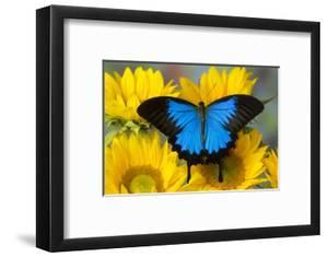 Australian Mountain Blue Swallowtail Butterfly on sunflower by Darrell Gulin