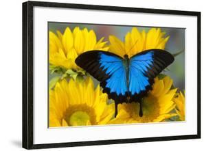 Australian Mountain Blue Swallowtail Butterfly on sunflower by Darrell Gulin