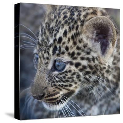 Baby Blue Eyed Leopard Masai Mara, Kenya Africa