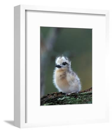 Baby White Tern on Branch, Midway Atoll National Wildlife Refuge, Hawaii, USA