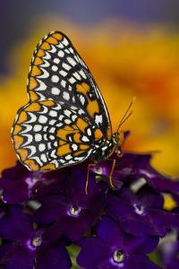 Baltimore Checkered Spot Butterfly by Darrell Gulin