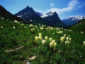 Bear Grass near Going-to-the-Sun Mountain by Darrell Gulin