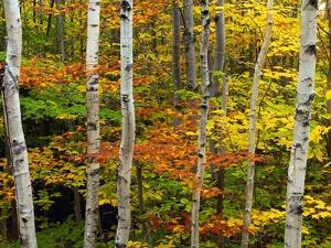 Birch and Maple Trees in Autumn by Darrell Gulin