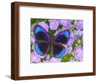 Blue and Black Butterfly on Lavender Flowers, Sammamish, Washington, USA