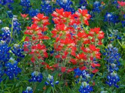 Blue Bonnets and Paint Brush in Texas Hill Country, USA